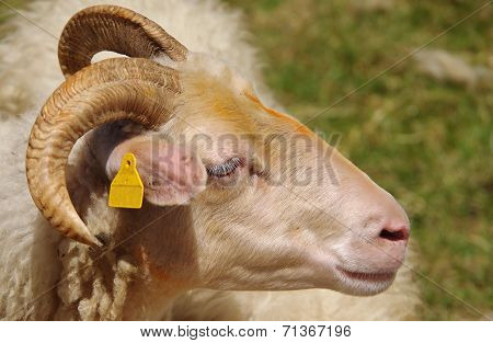 Aries Within The Sheep Flock