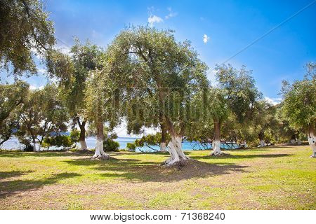 Beautiful panoramic view of olive grove at Lichnos beach near Parga village, Greece.
