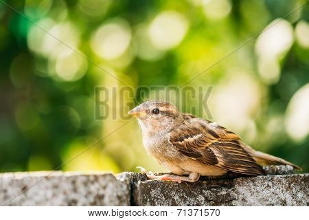 House Sparrow (passer Domesticus) On Fence