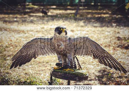 peregrine falcon with open wings , bird of high speed