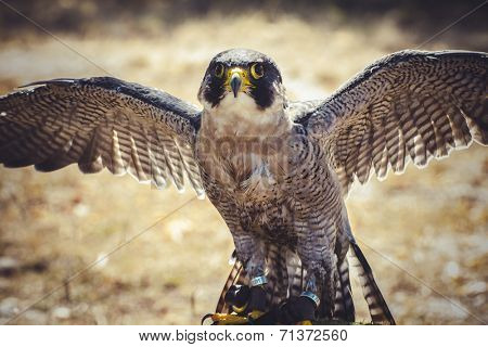 feather, peregrine falcon with open wings , bird of high speed