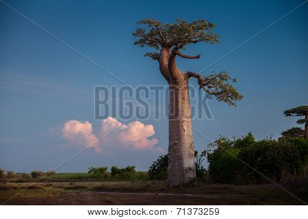 Baobab tree on the dry meadow and fluffy clouds on the background