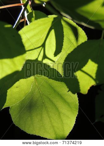 Foliage Of Russian Elm