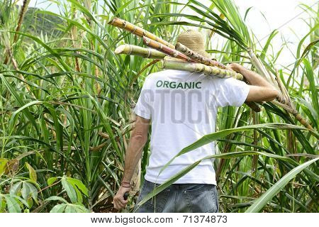 Organic farmer carrying sugar cane in front of plantation