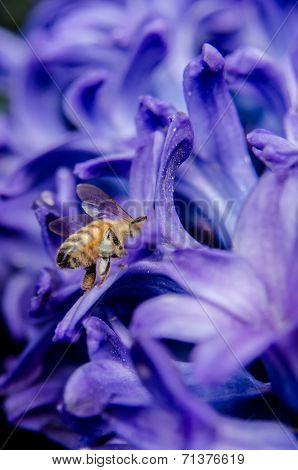 Bee Searching For Nectar In Hyacinth
