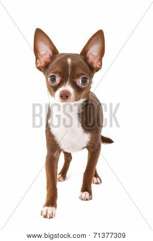 chocolate brown chihuahua dog with white making step forward