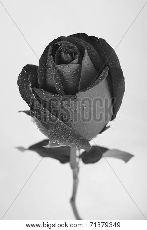 Black Rose Flower Isolated On White Background, Black And White Monochrome, Water Dew Drop On Rose