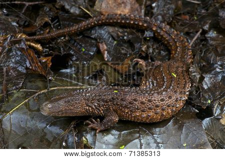 Earless monitor lizard / Lanthanotus borneensis