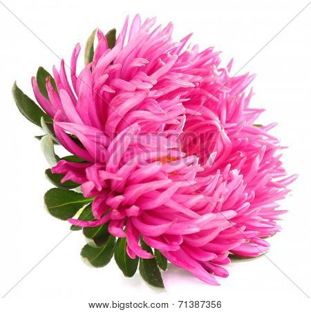 beautiful chrysanthemum flower, isolated on white