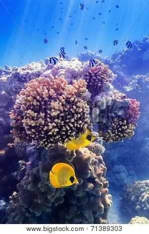 Mask Butterflyfish on coral