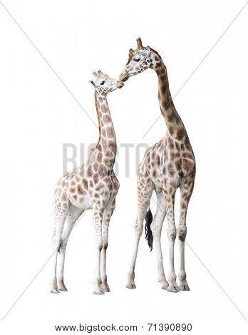 Two standing giraffes