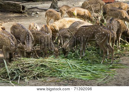 Spotted Deer At The Farm
