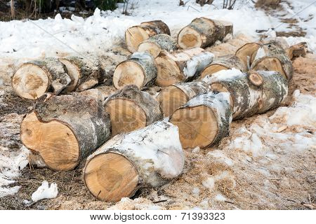 Sawn Trunks Of Birch