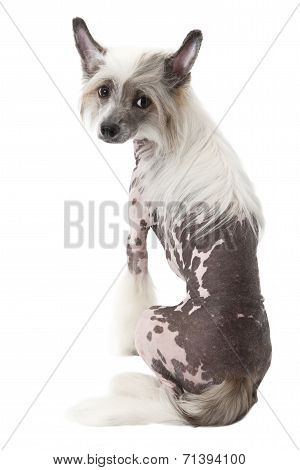 Back View Of A Hairless Chinese Crested Dog Sitting Over White
