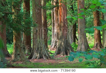 Redwood Trees In The British Woodlands