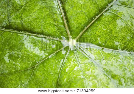 Wet Green Leaf