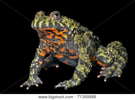 Frog (bombina Orientalis)
