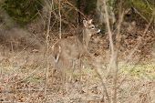 stock photo of cade  - A whitetail buck on the edge of a field - JPG