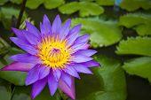 foto of semen  - Lotus flower or waterlily represents one symbol of fortune in Buddhism It grows in muddy water  - JPG