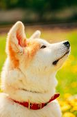 stock photo of akita-inu  - Akita Dog  - JPG
