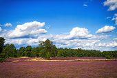 stock photo of common  - Path trough heathland with flowering common heather  - JPG