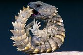 stock photo of lizards  - The  Armadillo girdled lizard is a heavily armored lizard species endemic to South Africa - JPG