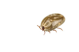 picture of dust mite  - A female tick isolated on white background