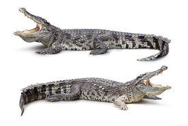 image of crocodile  - Group of wildlife crocodile isolated on white - JPG