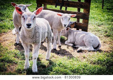 Cute Lambs At Green Field