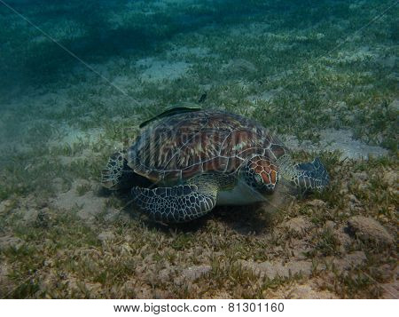 Sea Turtle Eats Seaweed