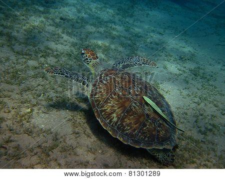 Sea Turtle With Pilot Fish