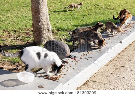 Feeding The Homeless Cats And Guinea Fowl