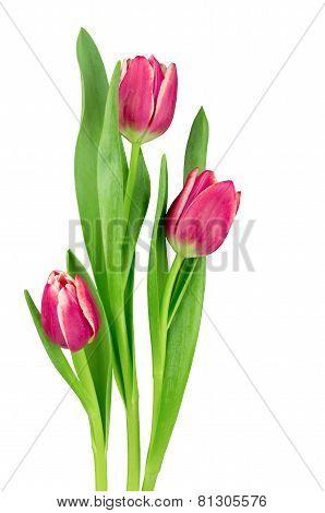 Vivid Fuchsia  Pink Tulips