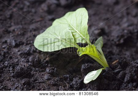 Seedling in dark soil
