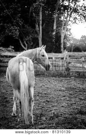 Palomino horse standing by the fence at sunset
