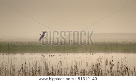 Flying Heron above a lake, in Terai,  Nepal