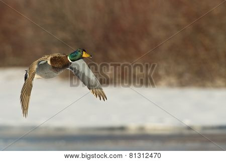 A Flying Duck