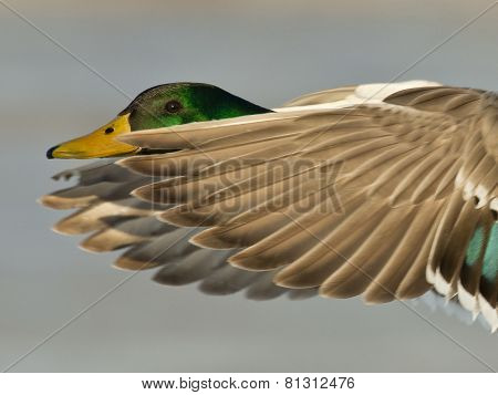 Flying Duck