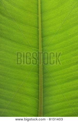Ficus Elastica Leaf Close-up
