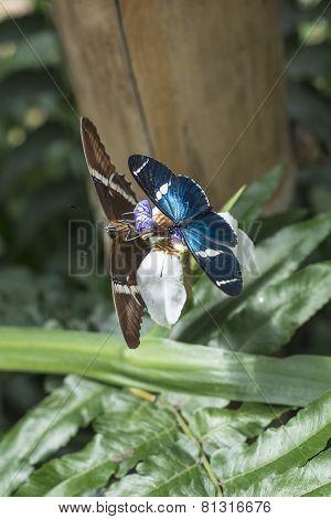 Butterflies On Exotic Tropical Flower, Ecuador