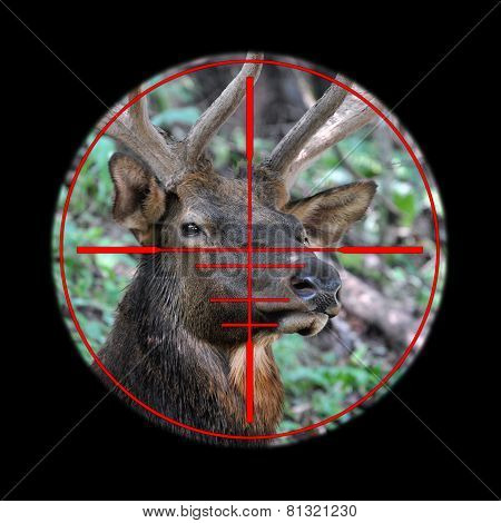 Big elk buck in hunting rifle scope