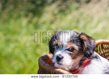 Puppy In A Wicker Basket