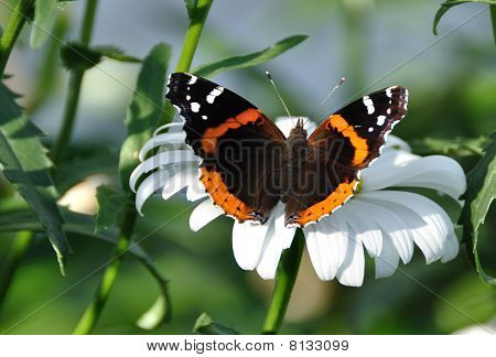Red Admiral Butterfly On A Shasta Daisy