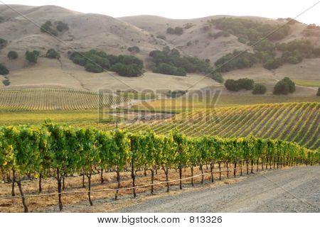 Vineyard of California
