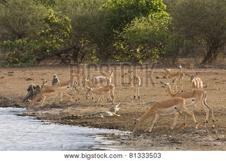 Impalas, baboons and a crocodile on the riverbank, at Lower Sabie, Kruger, South Africa