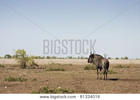 wild wildebeest standing in a burned savannah, Kruger, South Africa
