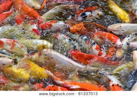 Fancy Carp Fishs In The Pond