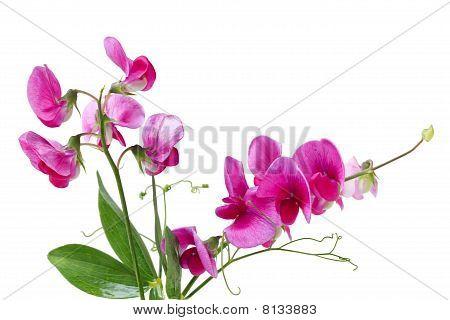 Lathyrus Mash Pea Wildflower