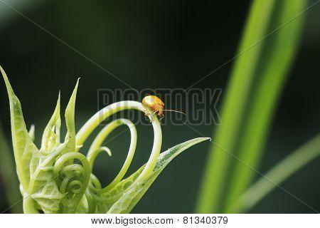 Golden Yellow Bug