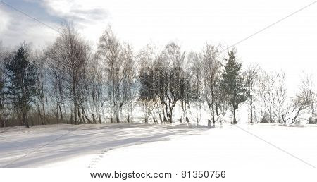Tree Line in Snow